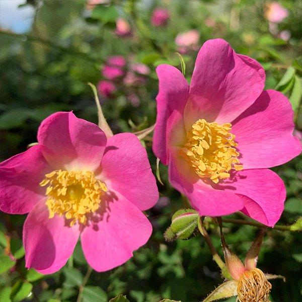 Rosa webbiana - A pink single species rose.