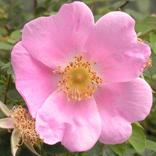 Rosa webbiana - Pink Species Rose