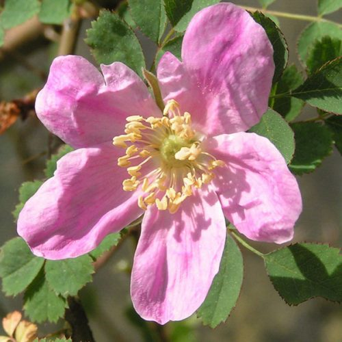 Rosa willmottiae - Pink Species Rose