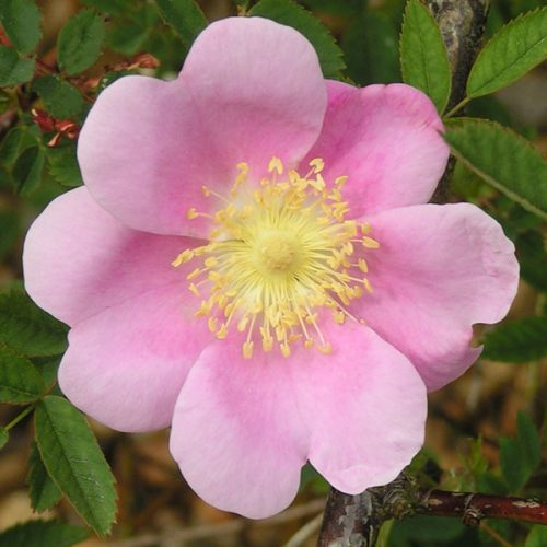 Rosa woodsii 'Fendleri' - Species Rose