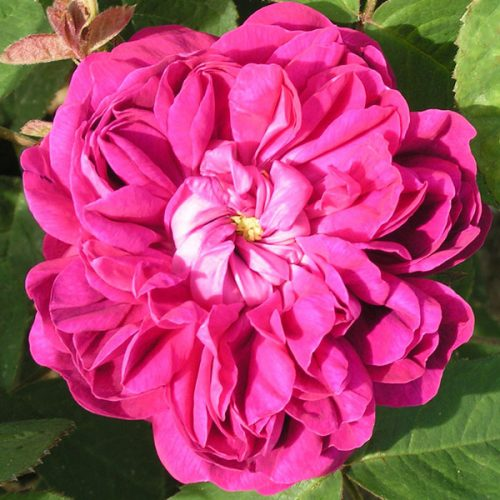 Rose de Rescht - Damask Rose