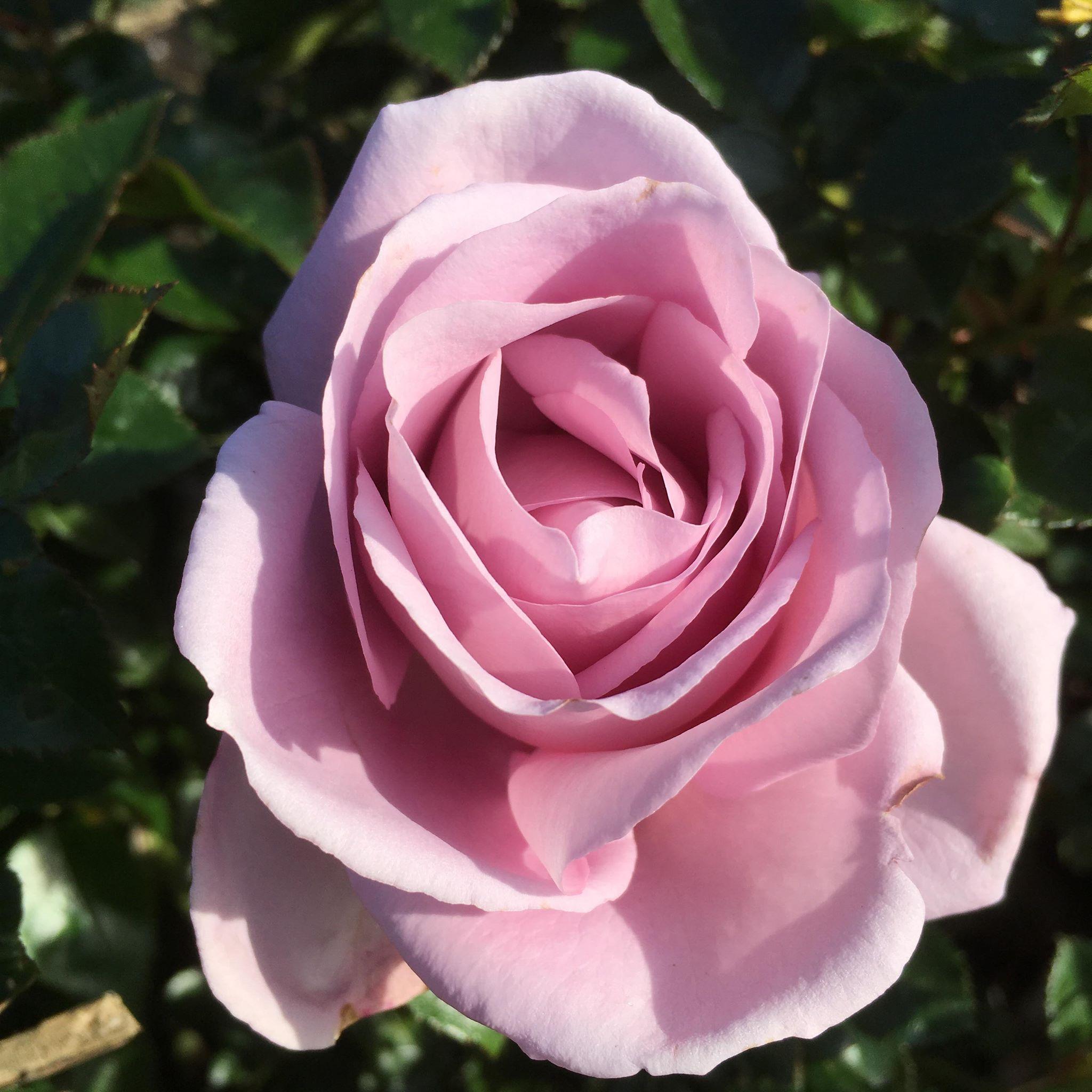 La Rose Du Petit Prince - Pink Delbard Rose