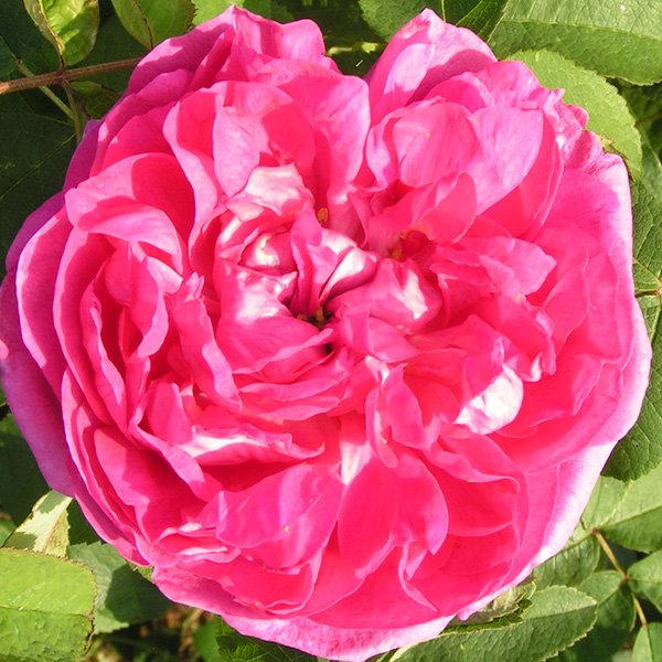Rose du Roi - Damask Rose
