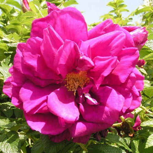 Roseraie de l'Hay - Pink Rugosa Rose