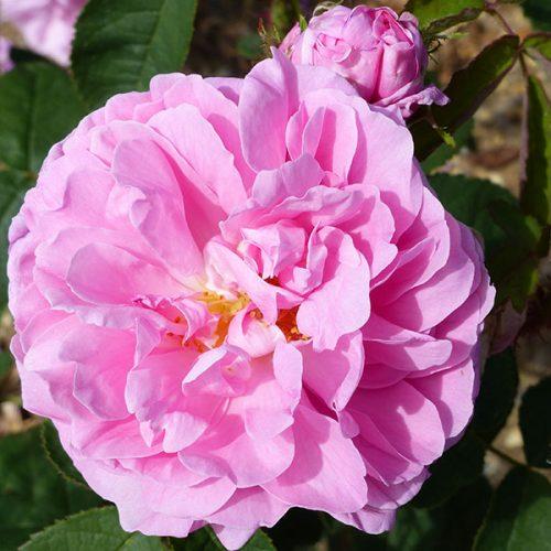 Salet - Pink Moss Rose