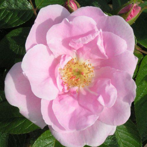 Sarah Van Fleet - Pink Rugosa Rose