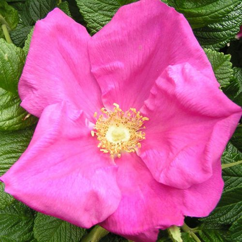 Scabrosa - Pink Rugosa Rose