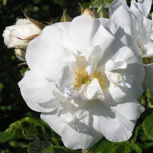 Scheezwerg - White Rugosa Rose