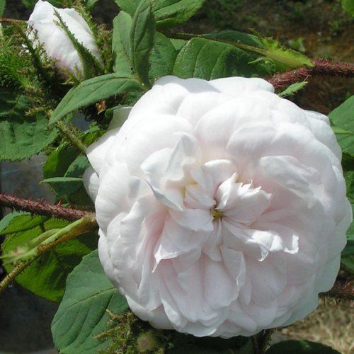 Shailers White Moss - White Moss Rose
