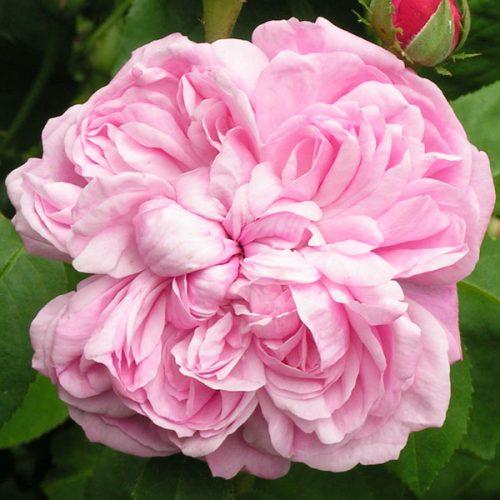 Sidonie - Pink Hybrid Perpetual Rose