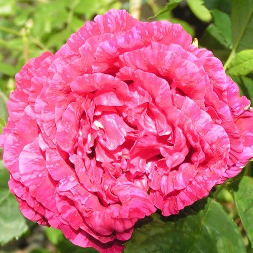 Souvenir de Jeanne Balandreau -Striped Hybrid Perpetual Rose