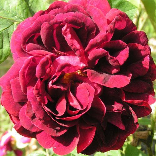 Souvenir Pierre Vibert - Red Moss Rose