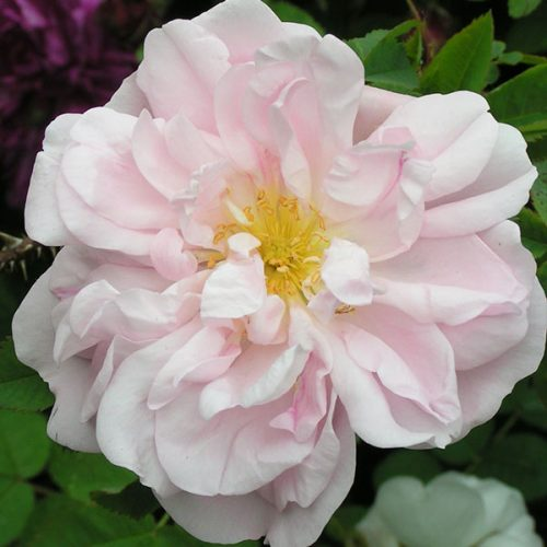 Stanwell Perpetual - Species Rose