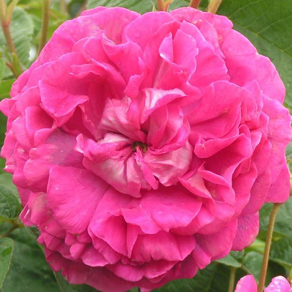 Surpasse Tout - Gallica Rose