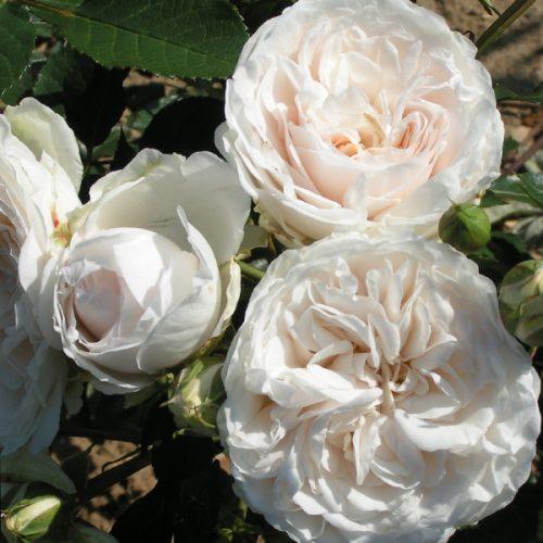 Susan - White Renaissance Rose