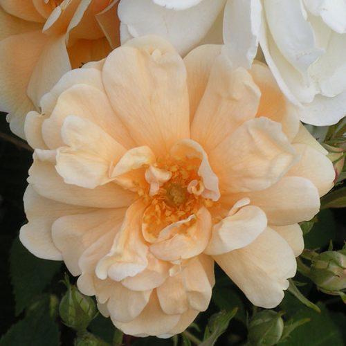 Thisbe - Hybrid Musk Rose