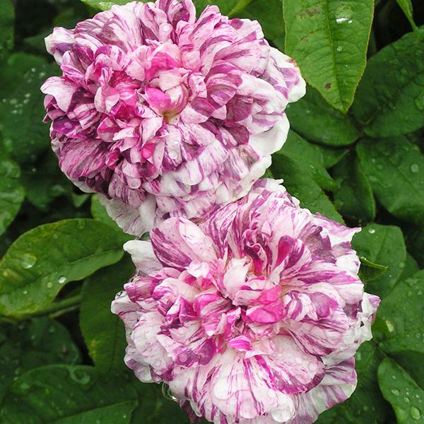 Tricolore de Flandre - Striped Gallica Rose