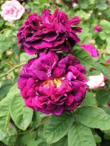 Tuscany Superb - Gallica Rose