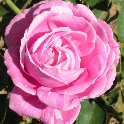 Vicks Caprice - Pink Hybrid Perpetual Rose