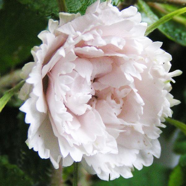 White Grootendorst - White Rugosa Rose
