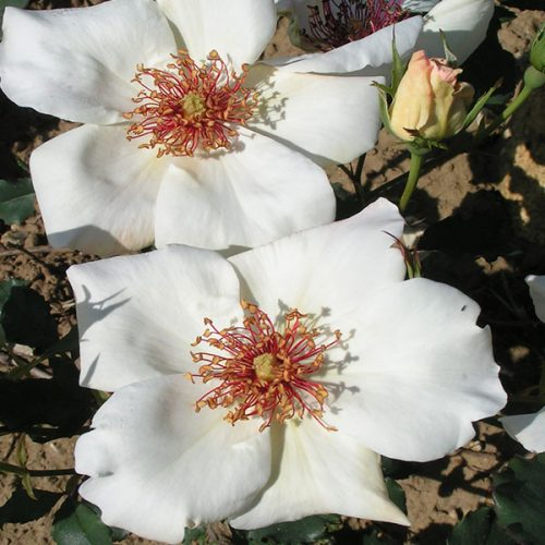 White Wings - Tea Rose