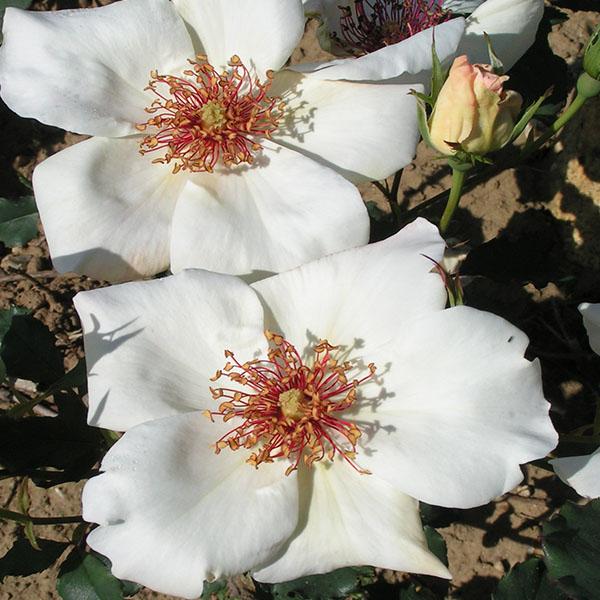 White Wings - Tea Rose