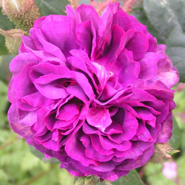 William Lobb - Moss Rose