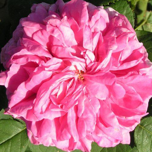 Yolande d'Aragon - Pink Hybrid Perpetual Rose