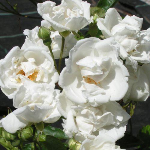 Yvonne Rabier - White Polyantha Rose