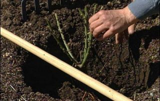 bare root rose planting