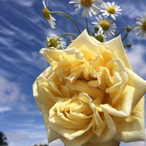 Marechal Niel - Yellow Climbing Rose