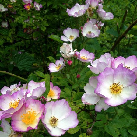 Lilac Domino - Rambling Rose 2