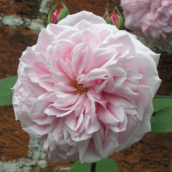 Souvenir de Mme. Auguste Charles - Bourbon Rose