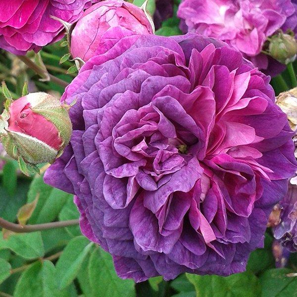 Hippolyte a violet Gallica Rose