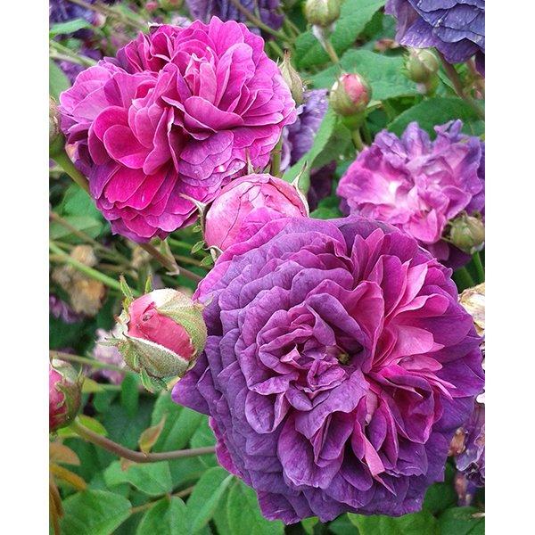 Hippolyte a stunning Gallica Rose