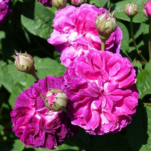 Hippolyte a lovely Gallica Rose