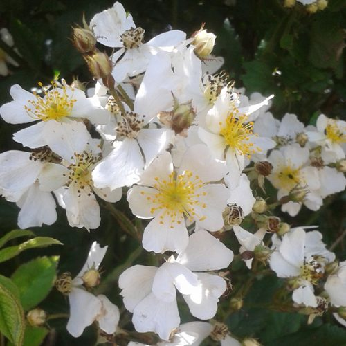 Rosa Multiflora, a white species rose
