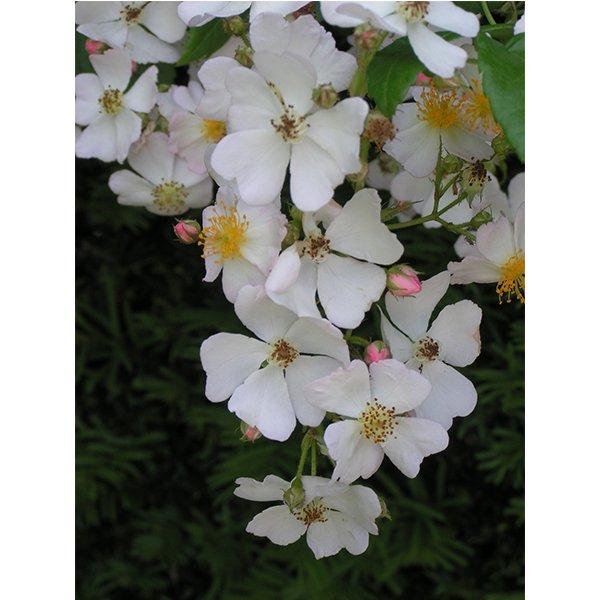 Rosa Multiflora - a white species rose