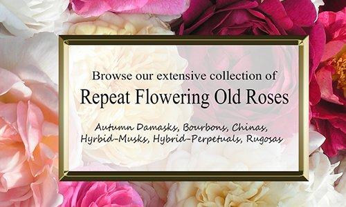Repeat Flowering Old Roses