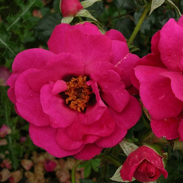 Eye of The Storm - A cerise pink with dark eye Persica Rose.