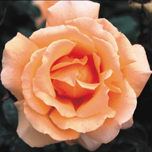 Just Joey is a coppery-orange modern hybrid Tea.