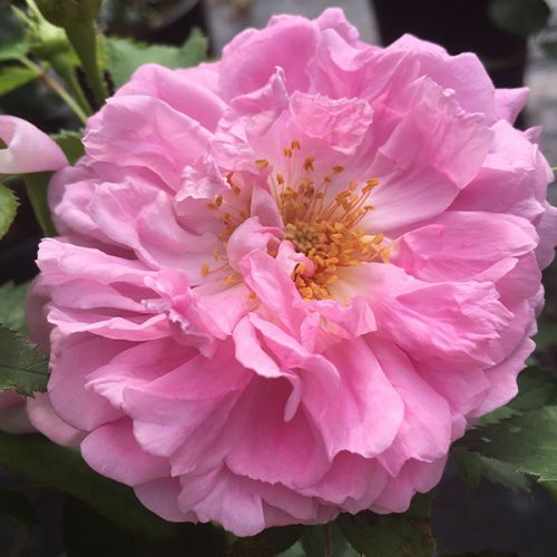 Miranda is a portland damask rose introduced in 1869 by breeder Sansal.