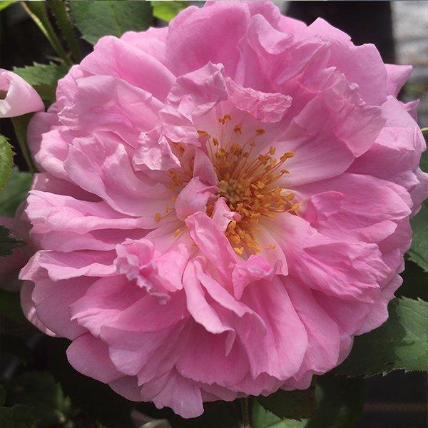 Miranda is a beautiful crumpled petalled repeat flowering damask rose.