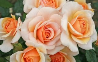 Sweet Honey is rose of the year 2020.