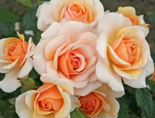 Rose of the Year: Sweet Honey
