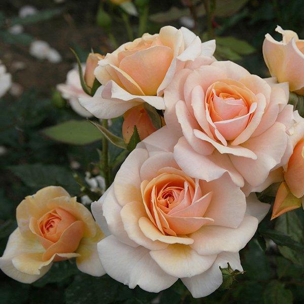 Sweet Honey a fragrant honey coloured Modern Bush Rose