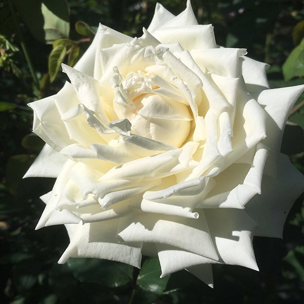 The Bride a pale white Tea Rose.