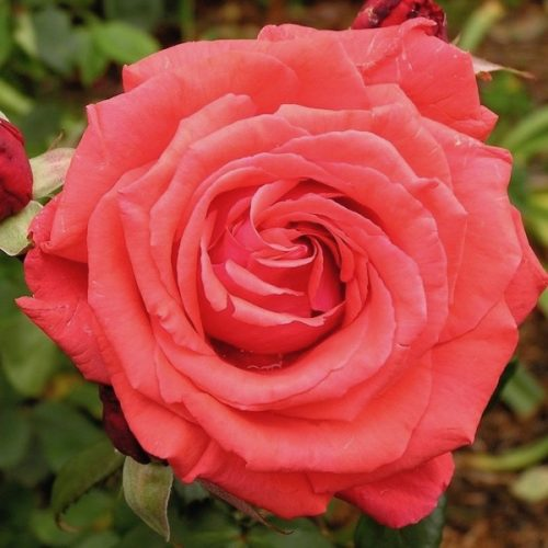 Fragrant Cloud is a modern Hybrid Tea rose with a rich scent and coral-red blooms.