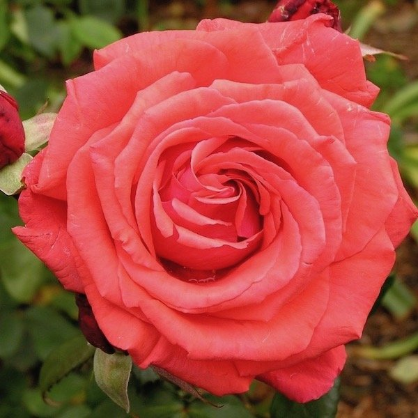 Fragrant Cloud Shrub Rose Roses Direct From Grower
