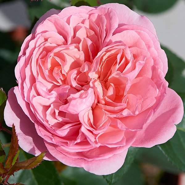 Jolene is a light pink Renaissance Rose with heavy perfume.